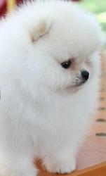 Мими Поморское щенка ..